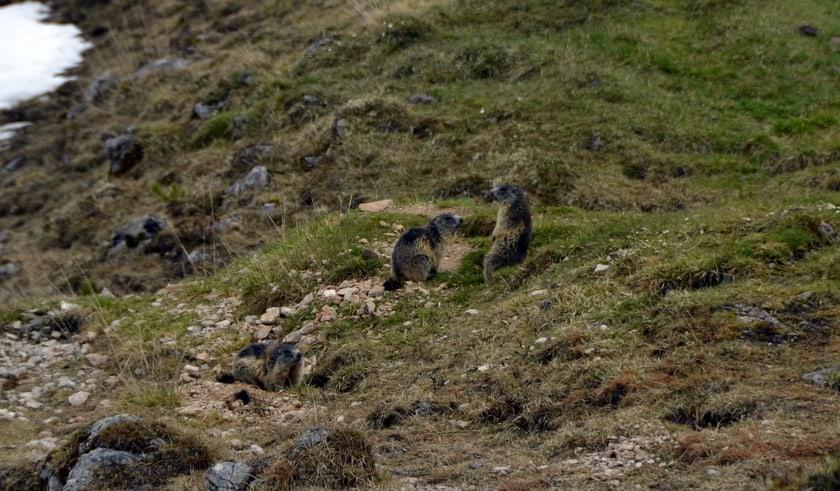 Marmotjes