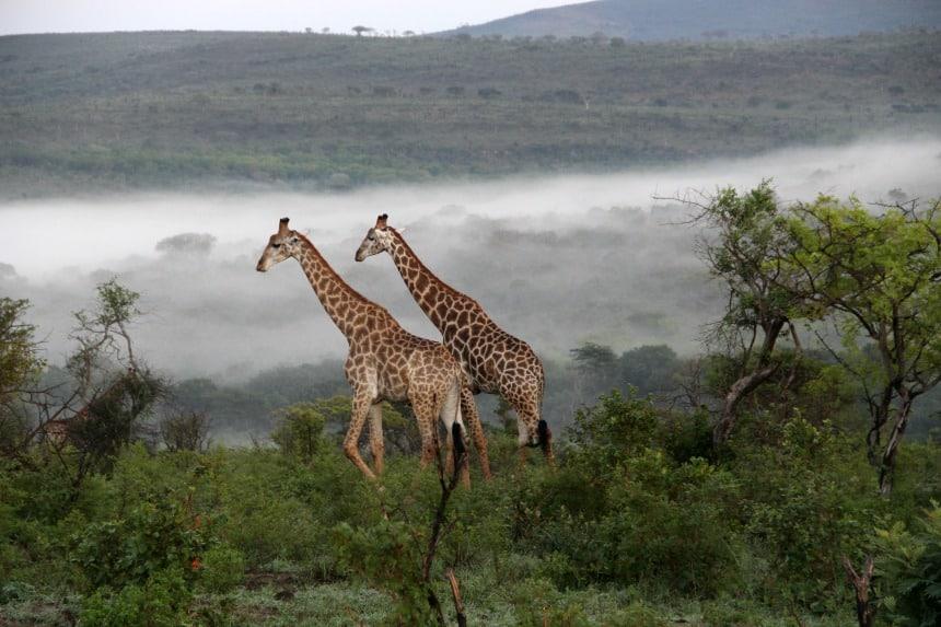 Giraffen in Hluhluwe-iMfolozi, een safaripark vlakbij St. Lucia