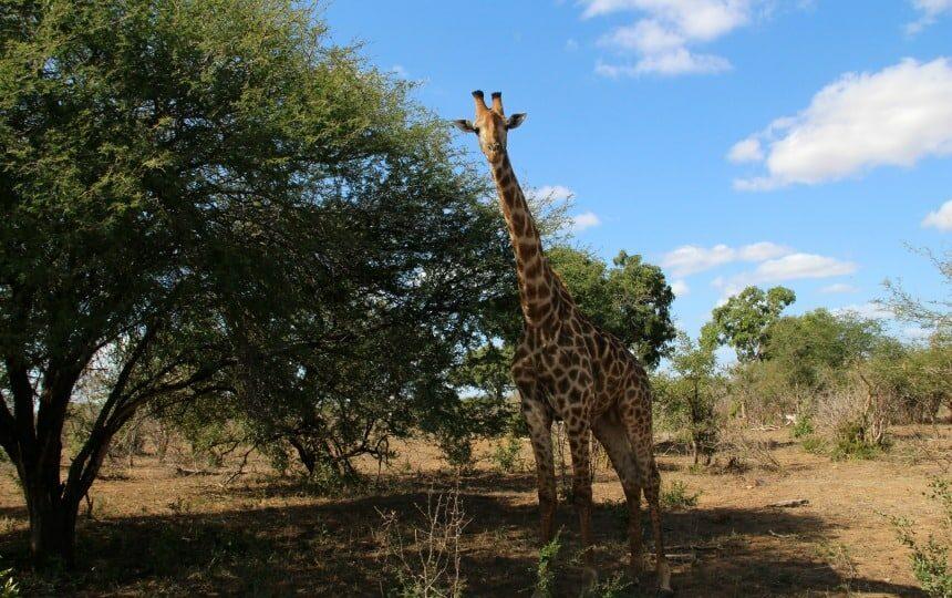 Een nieuwsgierige giraffe in het Krugerpark
