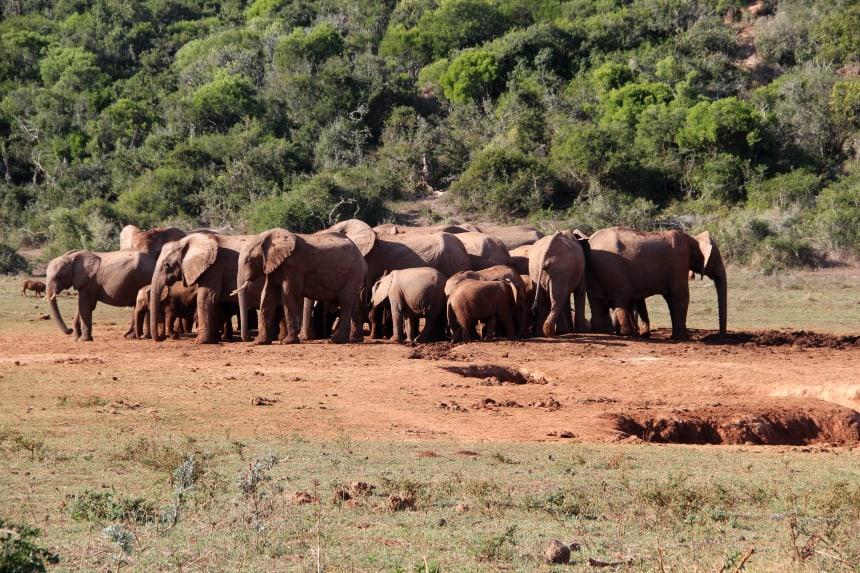 Op safari in het Addo Elephant park in Zuid-Afrika zag ik op één dag meer dan 100 olifanten!