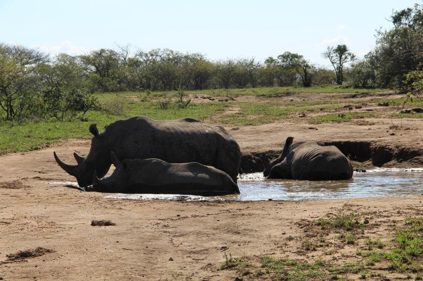Op safar in Zuid-Afrika: Hluhluwe-iMfolozi staat bekend om haar populatie neushoorns