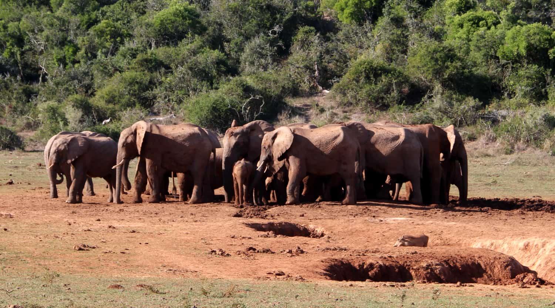 Safari Zuid-Afrika: ontbelbaar veel olifanten in Addo Elephant Park