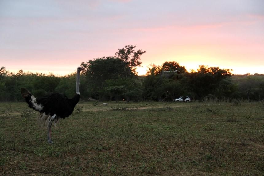 Deze struisvogel zag ik tijdens een wandelsafari in het Guernsey Private Game Reserve in Zuid-Afrika