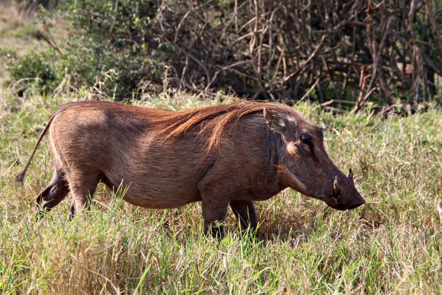 Ik zag ontzettend veel wrattenzwijnen op safari in het Addo Elephant Park
