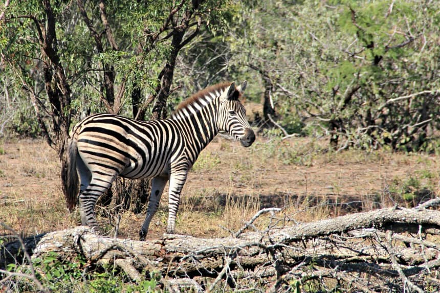 Safari Zuid-Afrika: zebra in Kruger
