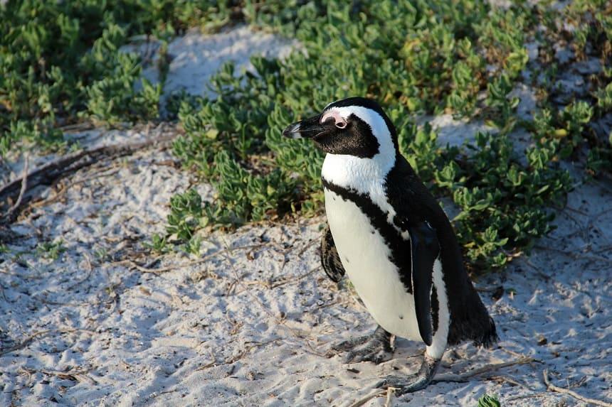 Pinguin op het strand van Simon's Town op het Kaapse Schiereiland