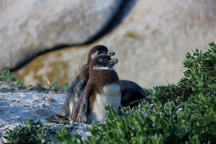 Kleine pinguins bij Boulder's Beach