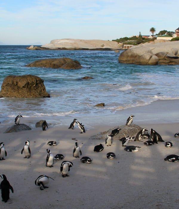 Het pinguinstrand Boulders Beach in Zuid-Afrika