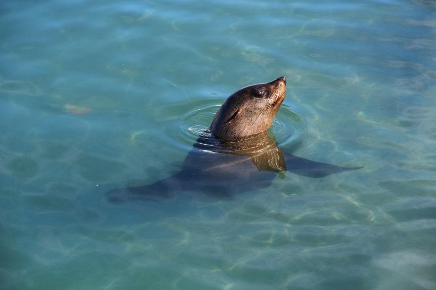 Een zeehond in de haven van Houtbaai