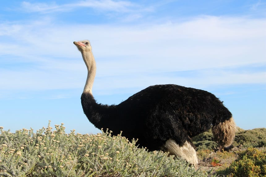 Een struisvogel in het Cape of Good Hope Nature Reserve