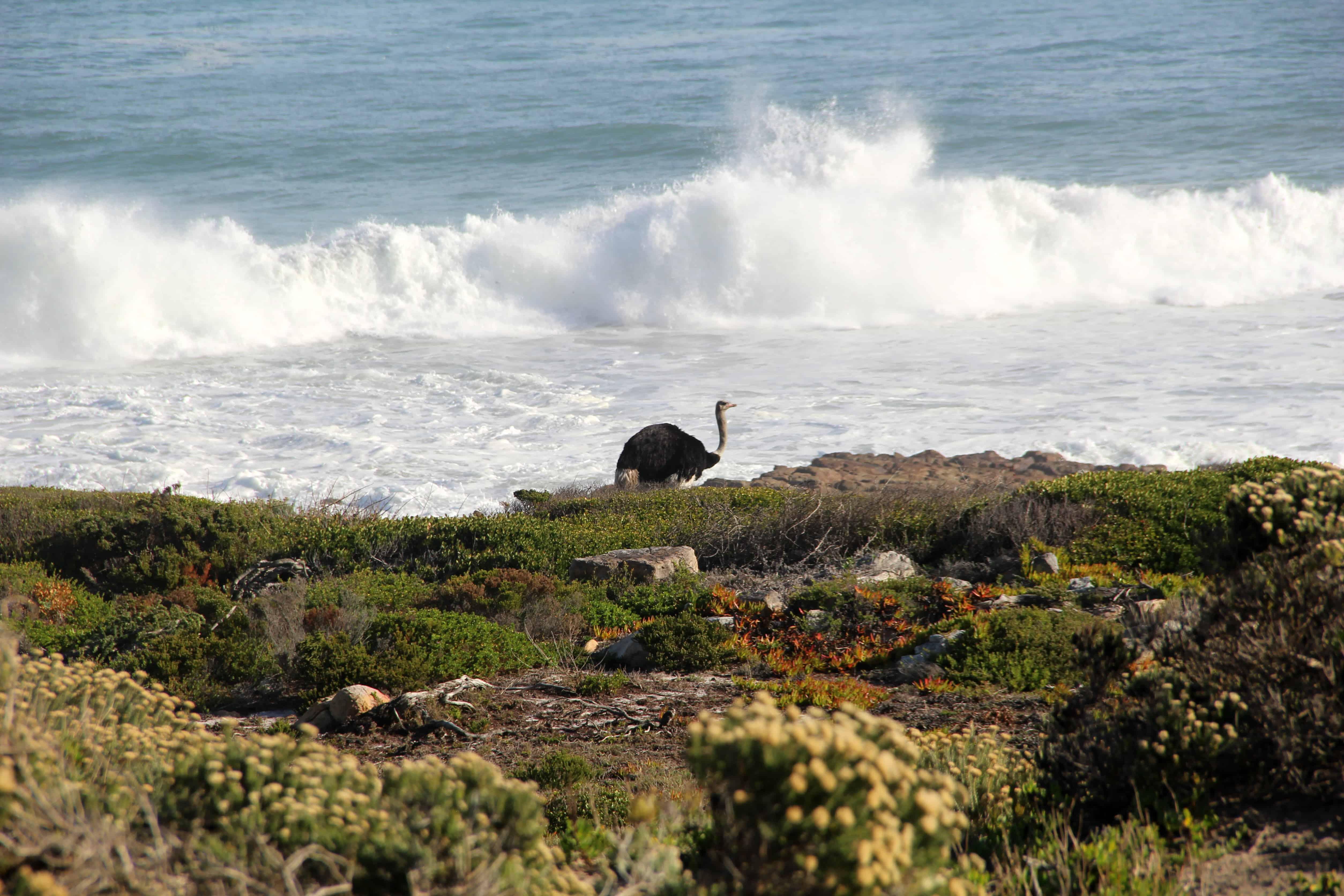 Een struisvogel aan zee bij Kaap de Goede Hoop