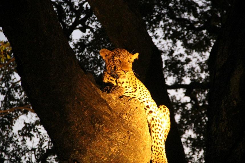 Een luipaard in Kapama Game Reserve, Zuid-Afrika