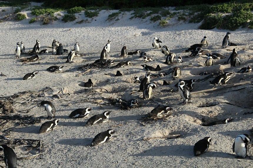 De prachtige pinguins van Boulder's Beach