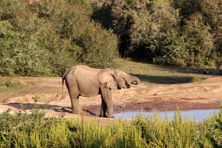 Safari Zuid-Afrika: olifant bij een waterpoel in Addo Elephant Park