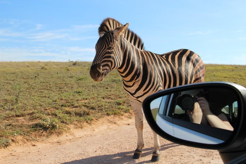 Geluksmoment op safari in Zuid-Afrika: dieren die dichtbij je auto komen