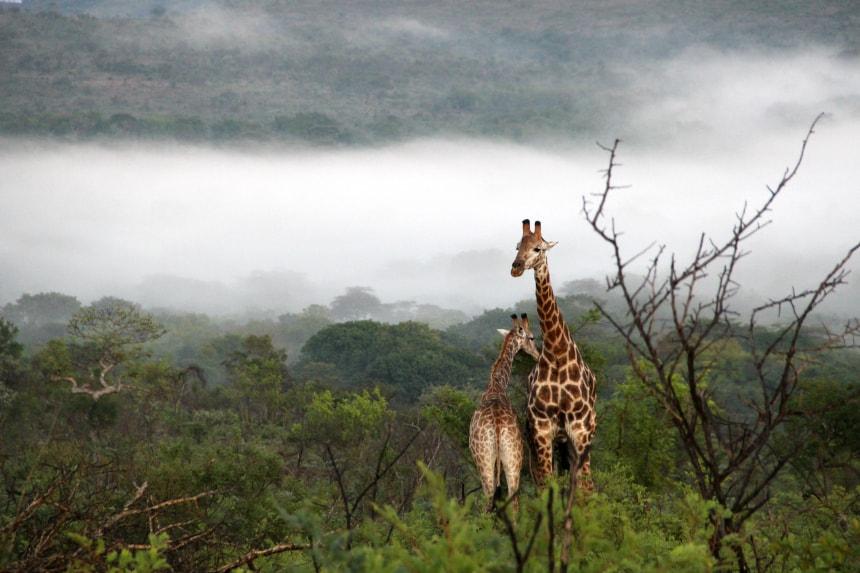 Giraffen in het Hluhluwe-iMfolozipark