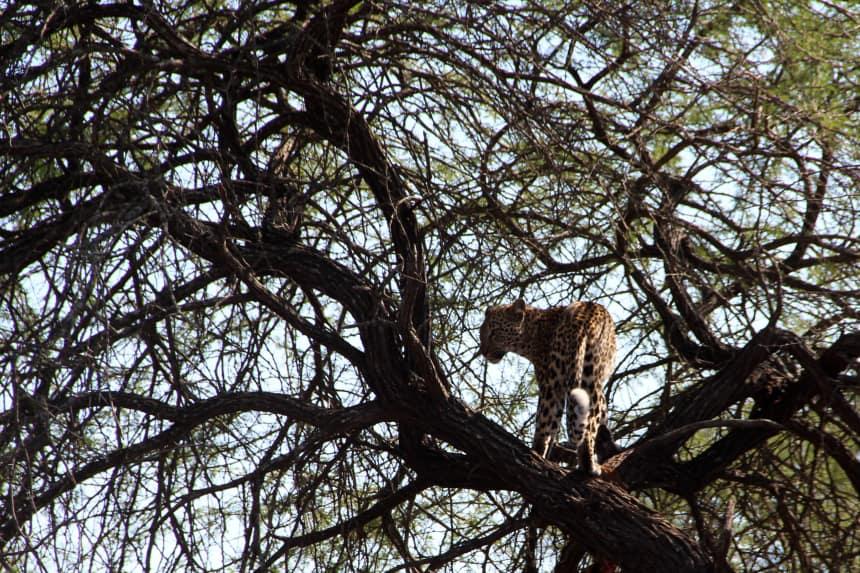 Op safari in Zuid-Afrika zagen we een luipaard in een boom (met prooi): geweldig om mee te maken!