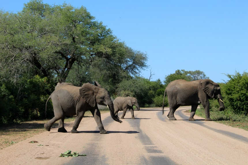 Olifanten steken de weg over in het Krugerpark