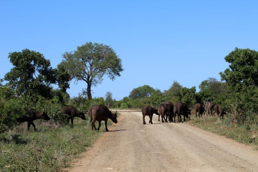 Een kudde buffels steekt de weg over in het Krugerpark