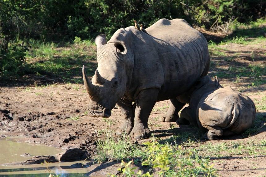 Bijzonder safarimoment: een kleine neushoorn drinkt bij zijn moeder