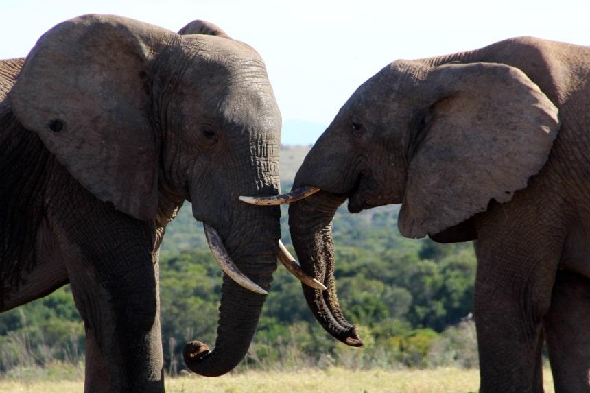 Interactie tussen olifanten op safari in Zuid-Afrika (Addo Elephant Park)