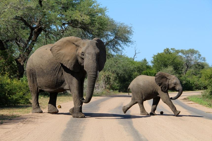 Op safari in Zuid-Afrika maak je goede kans om de Big 5 (olifant, luipaard, leeuw, buffel, neushoorn) te zien