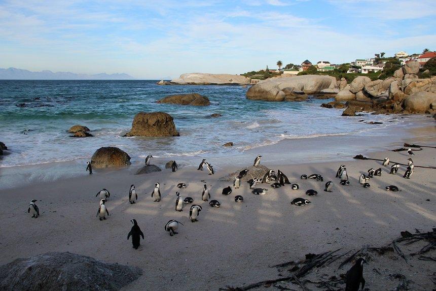 Sla tijdens een dagtocht over het Kaapse Schiereiland het pinguinstrand Boulder's Beach zeker niet over!