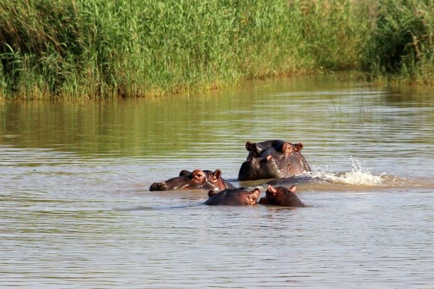 Als je geluk hebt, zie je op safari de nijlpaarden boven het water uitkomen