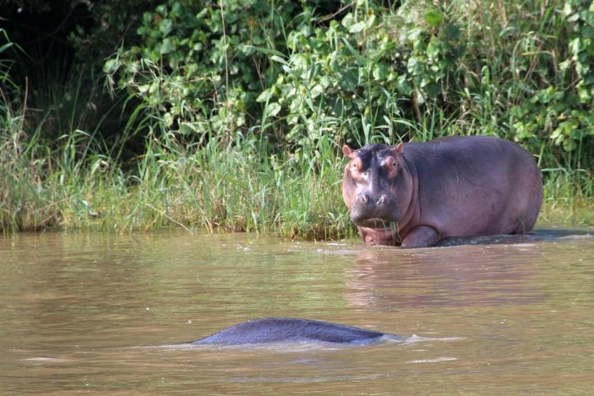 In Zuid-Afrika kun je in de omgeving van St. Lucia op zoek gaan naar nijlpaarden