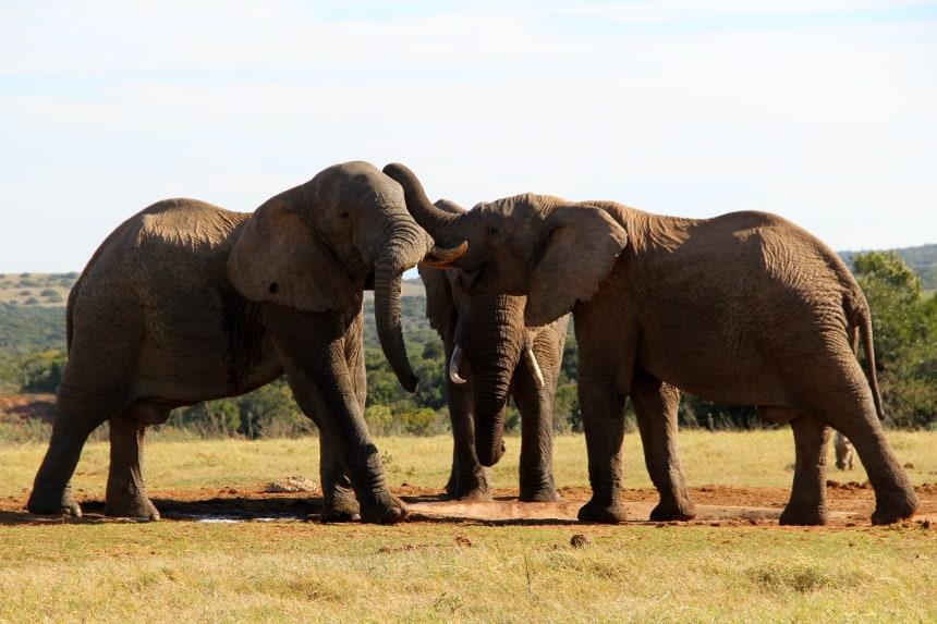 Op safari in Zuid-Afrika kun je met een beetje geluk ook interactie tussen de verschillende dieren zien, zoals deze olifanten in het Addo Elephant Park