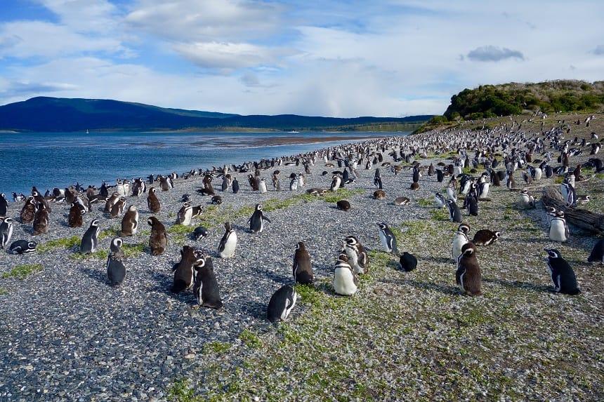 pinguins Isla Yécapasela
