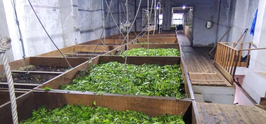 De beste thee wordt verbouwd op de Azoren.