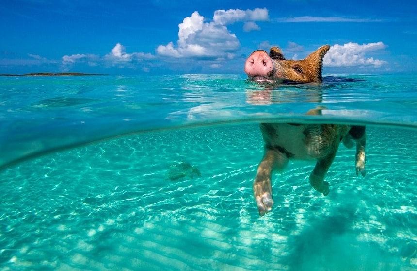 Bahamas varkens