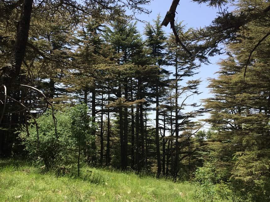 cederwoud bossen in Libanon
