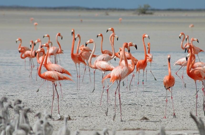Inagua Bahamas flamingo's