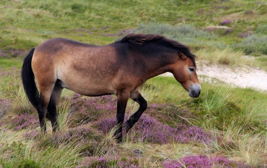 Paard in de duinen van Terschelling