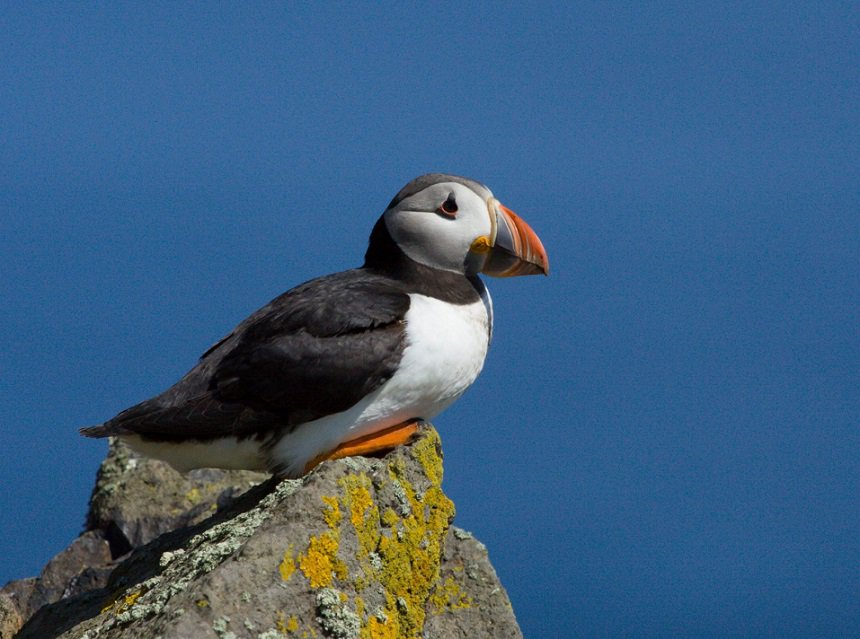 puffin isle of may