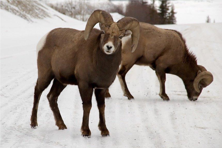 bighorn-sheep-canada