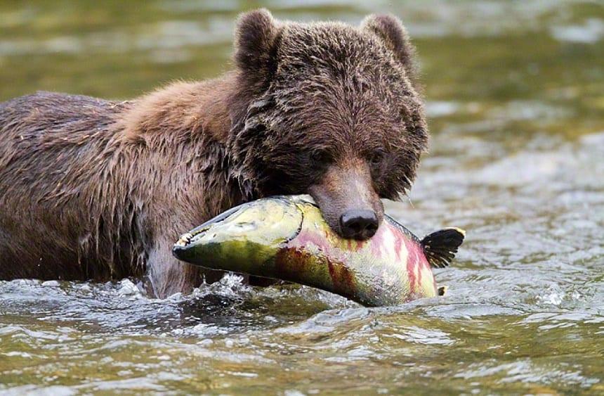 De grizzlybeer in Canada.