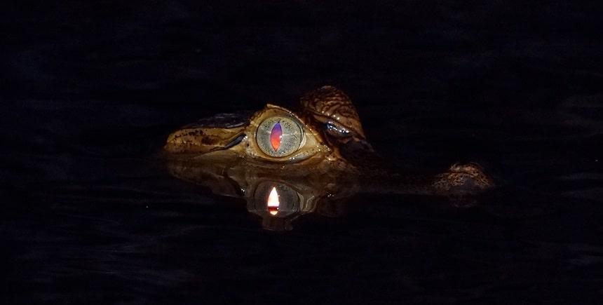 Jonge kaaiman is nieuwsgierig en komt 's nachts naar ons bootje toe