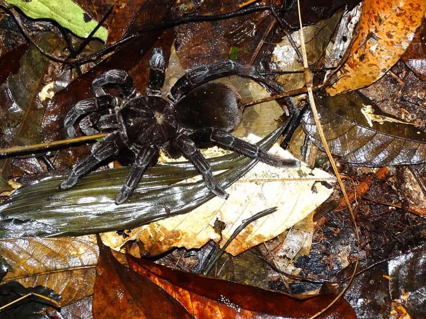 Tarantula, een van de grootste en giftigste spinsoorten (20 cm)
