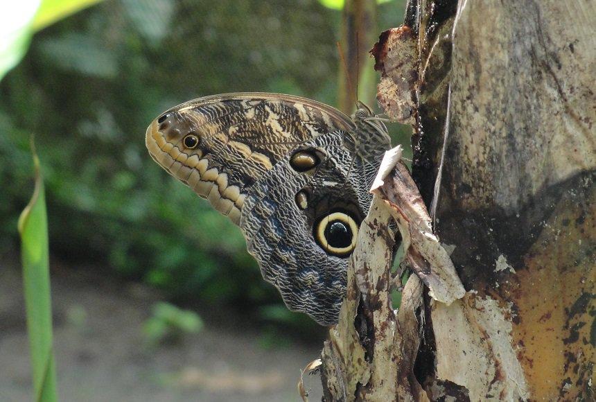 Het lijkt wel of de caligo eurilochus, ook wel uilvlinder genoemd, twee slangenkoppen heeft