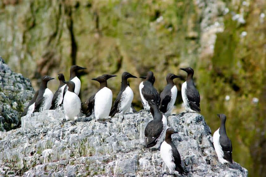 De kust van Bereneiland bestaat uit kliffen met nesten van zeekoeten en andere vogels