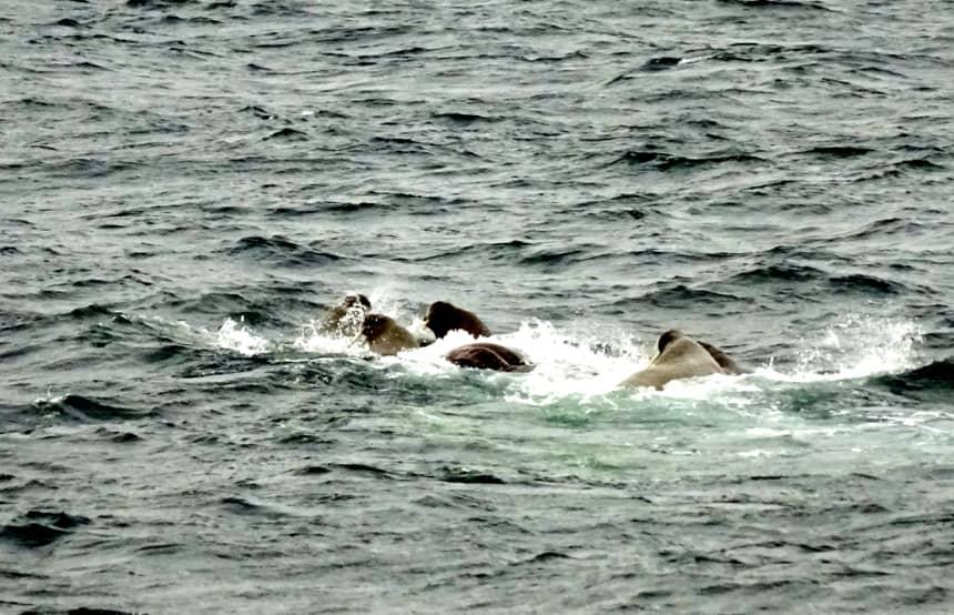 Walrussen in het water van Kvitoya