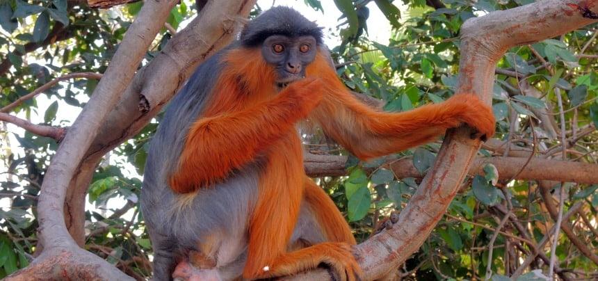 In Gambia beperkt het 'wild' zich tot apen en 500 soorten vogels.