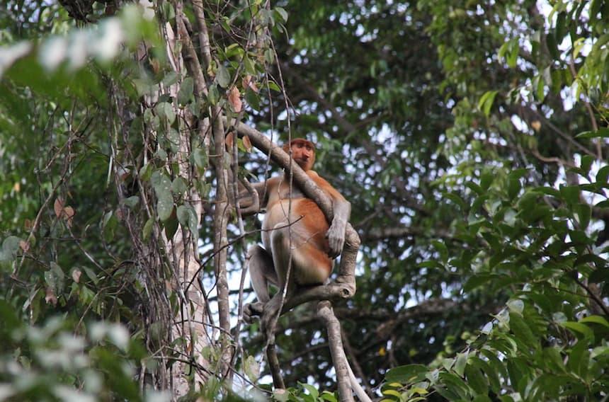 Neusaap Borneo