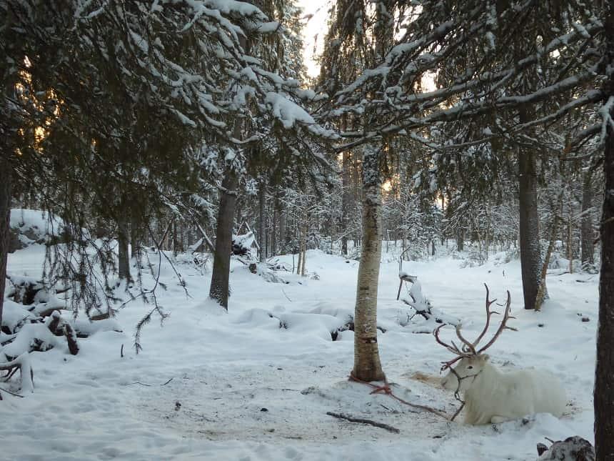 Wit rendier in Rovaniemi