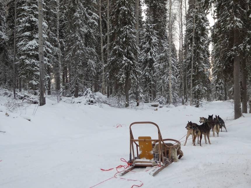 Husky's zijn ontzettend gedreven en rennen op een gemiddelde dag hier zo'n 100 km.