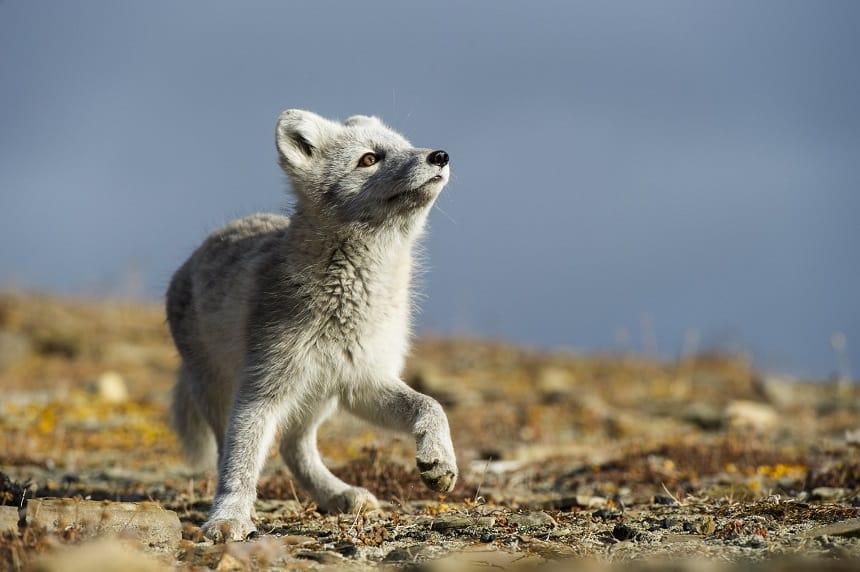 De beste reistijd voor het spotten van wildlife op Spitsbergen is de lente.