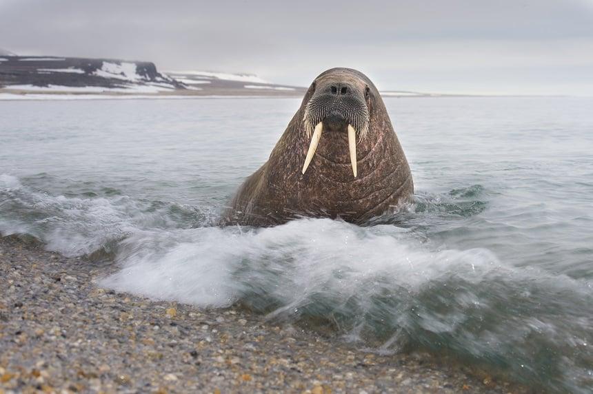 In 1950 is de walrus uitgeroepen tot een beschermde diersoort. Sindsdien is het aantal weer toegenomen.